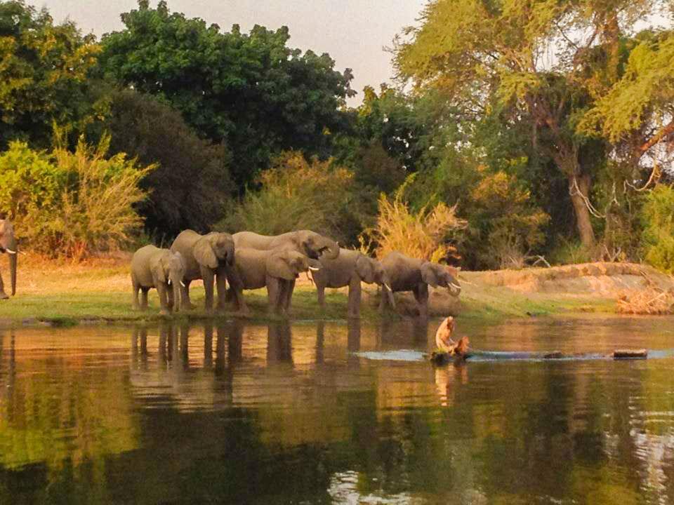 Elephants on Zambezi River in Zambia Africa