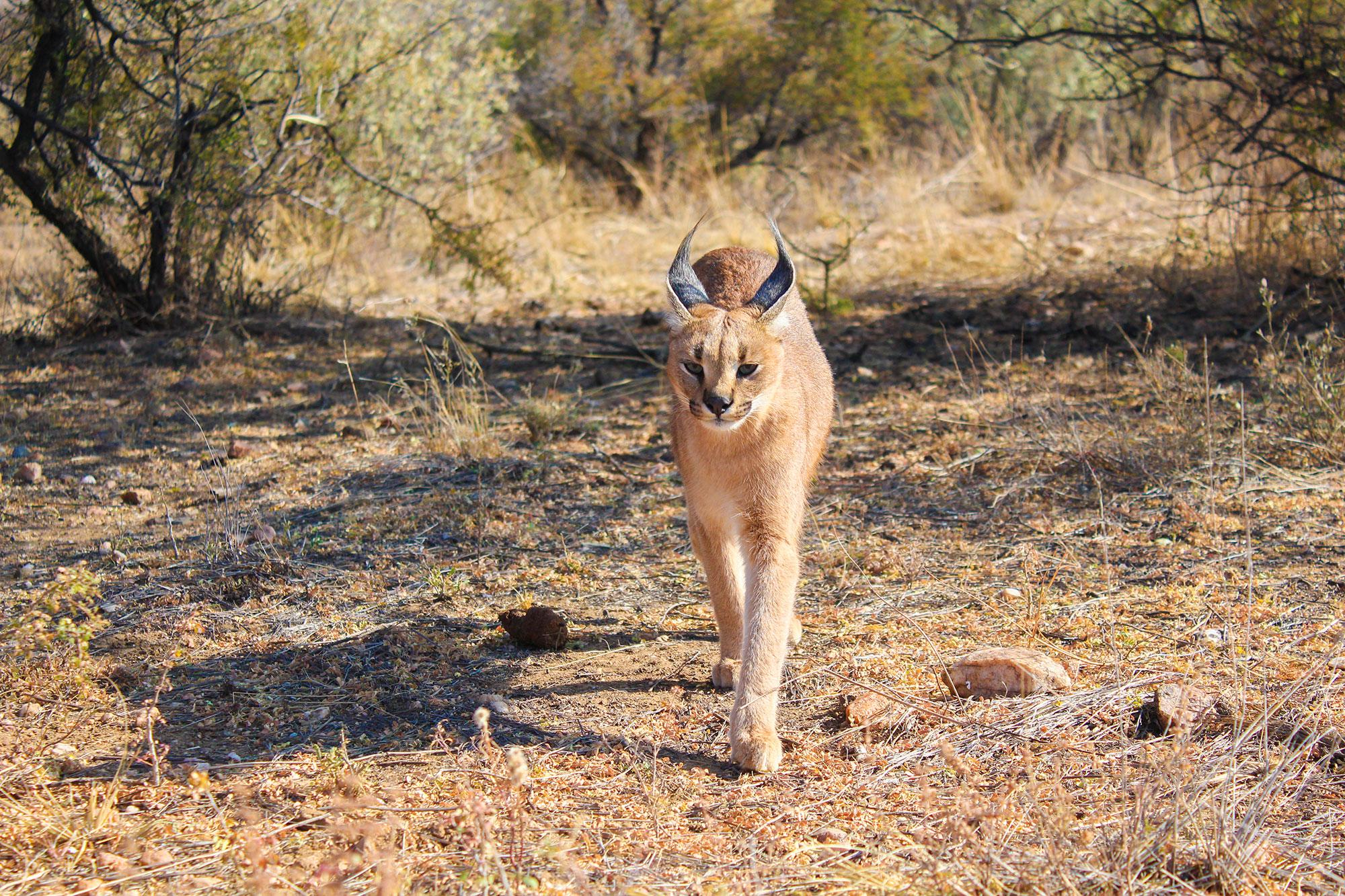 Caracal at Naankuse Wildlife Sanctuary Namibia