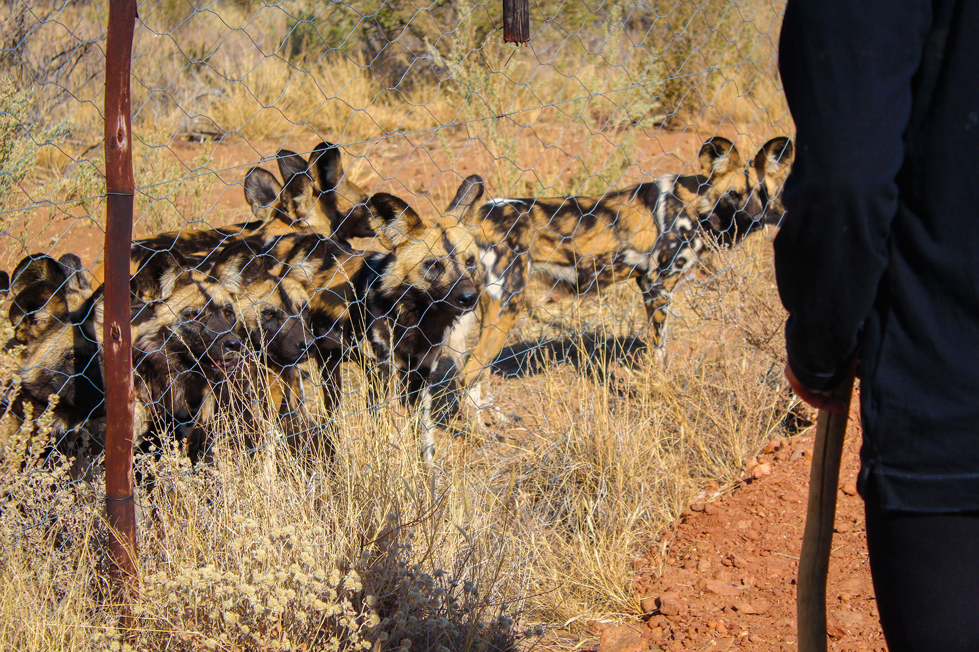 African Wild Dogs at Naankuse Wildlife Sanctuary Namibia