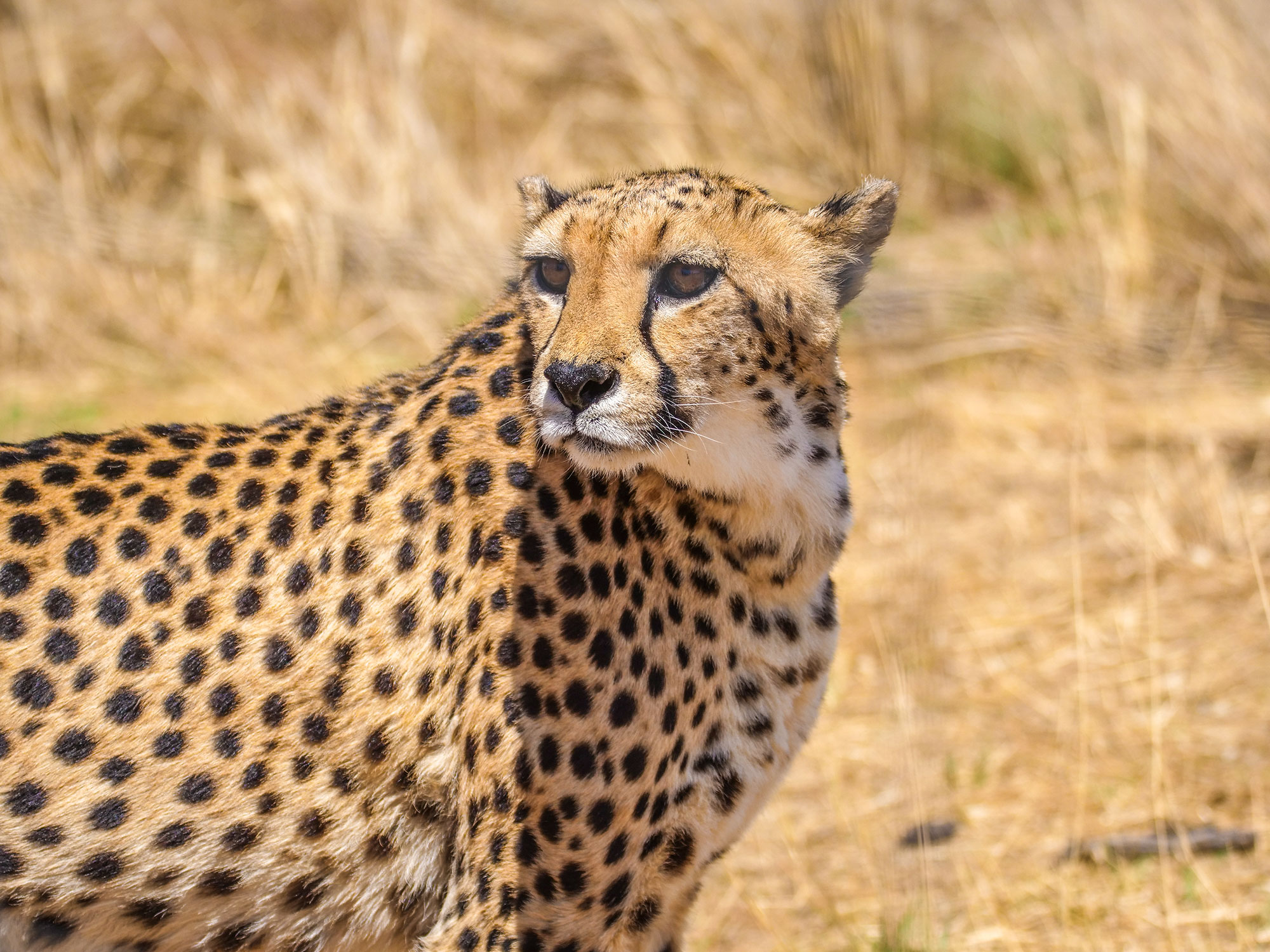 Cheetah at N/a'an ku sê (Naankuse) Wildlife Sanctuary in Namibia, Africa