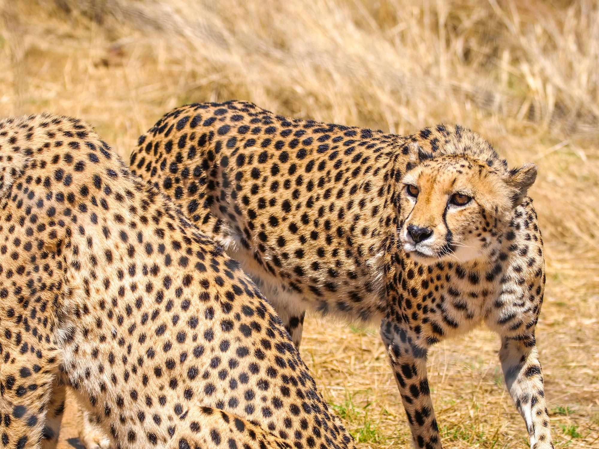 Cheetahs at N/a'an ku sê (Naankuse) Wildlife Sanctuary in Namibia, Africa