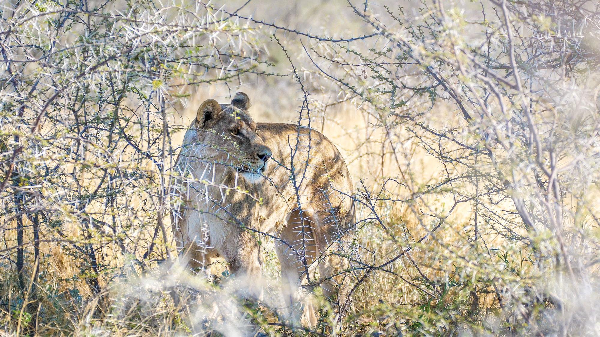 lioness on safari in Etosha National Park, Namibia, Africa