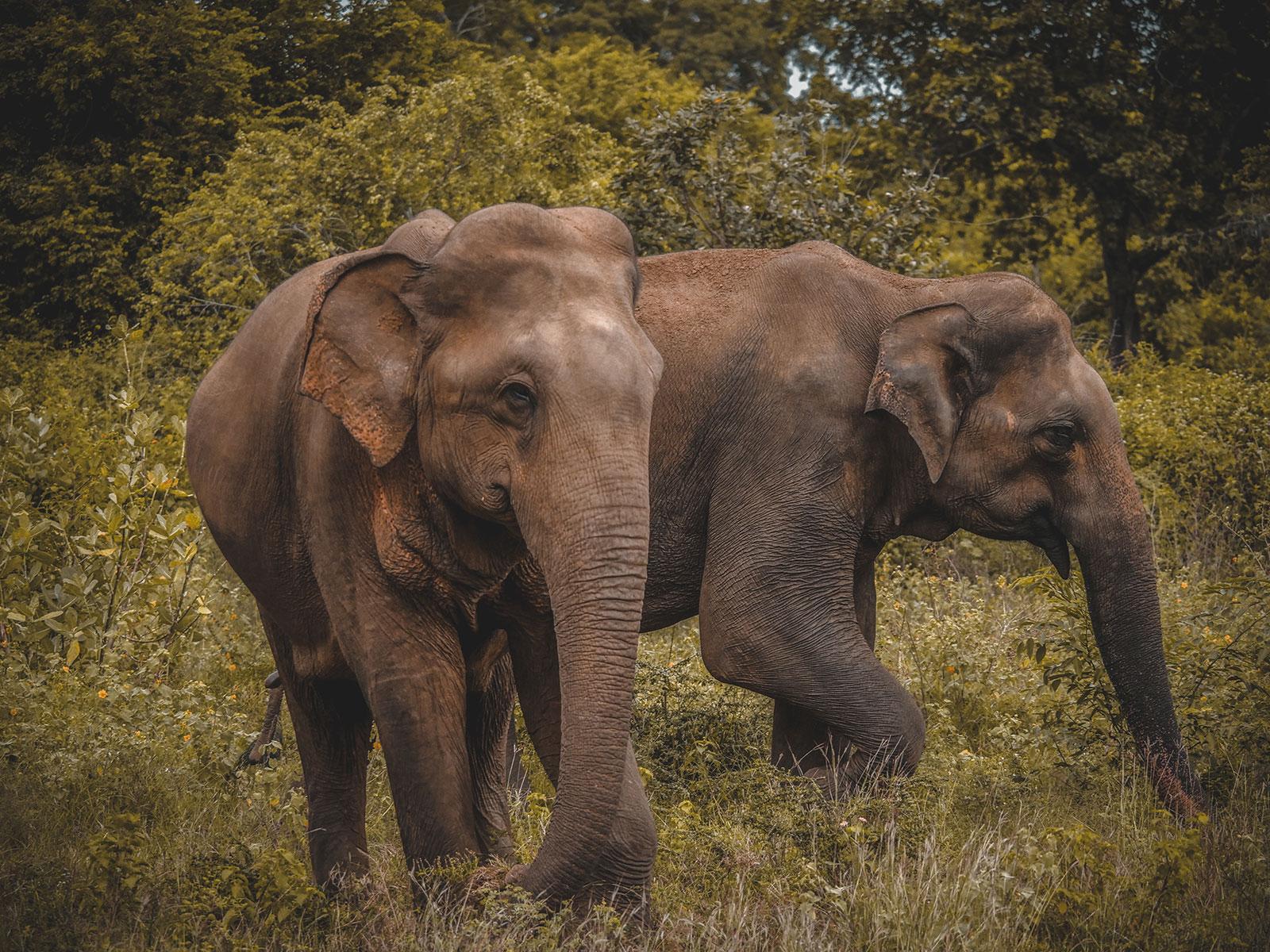 Elephants on safari in Udawalawe national park, Sri Lanka